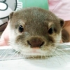2 Otter Cafes, Let's Be Healed by Otters in Japan 🦦